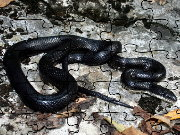 Click to Play Black Rat Snake Jigsaw Puzzle